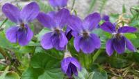 LJUBIČICA - simbol proljeća, vječnog života i ljubavi | Crne Mambe | Ljekovito bilje
